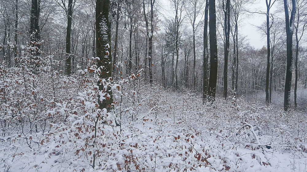 Snow covered forest in winter, Serrig, Saar Valley, Rhineland-Palatinate, Germany - 396-8283