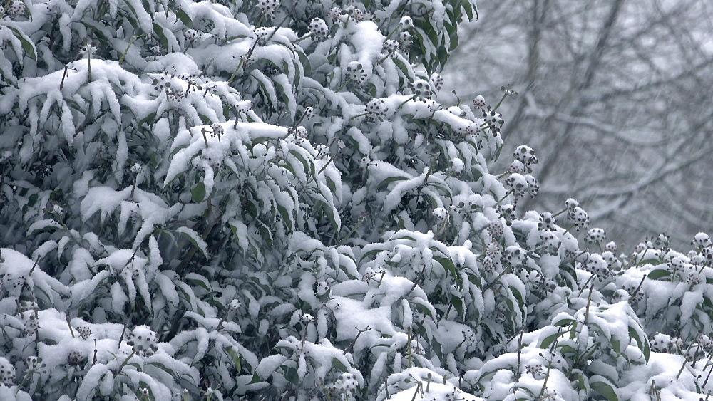 Snow covered ivy and snowfall in winter, Kastel-Staadt, Rhineland-Palatinate, Germany, Europe