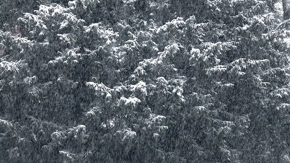 Snowfall and trees - 396-8303