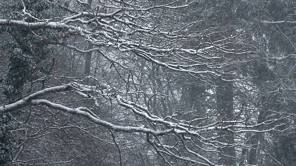 Snowfall and trees - 396-8305