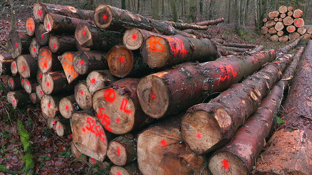 Log piles in forest, Kastel-Staadt, Saar Valley, Rhineland-Palatinate, Germany - 396-9144