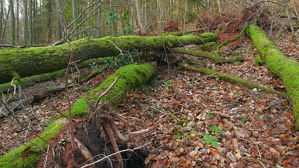 Wind breakage, uprooted trees in forest after storm