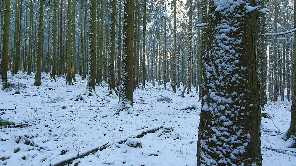 Snow covered coniferous forest in winter