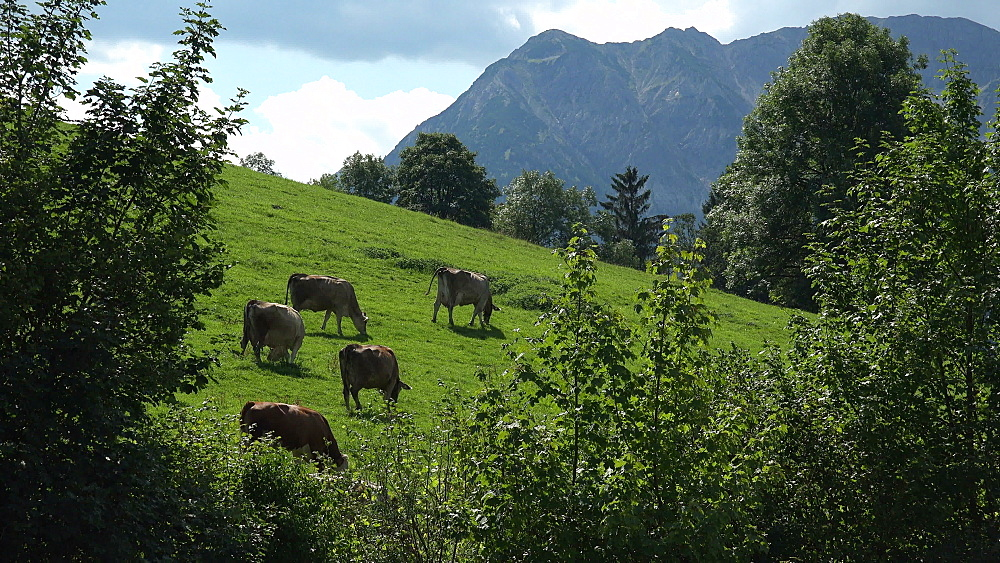 Cows on sommer pasture near Pfronten, Allgaeu, Swabia, Bavaria, Germany