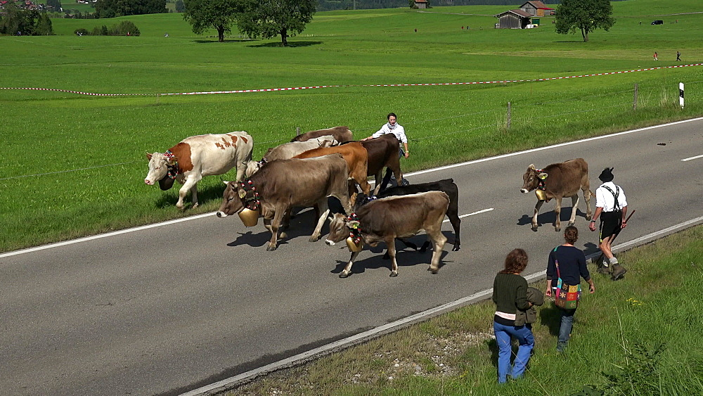 Cows at Almabtrieb, cattle drive from the summer mountain pastures, Schoellang near Oberstdorf, Allgaeu, Swabia, Bavaria, Germany
