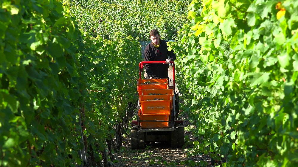 Grape harvest in vineyard in Ediger-Eller, Moselle Valley, Rhineland-Palatinate, Germany, Europe - 396-9690