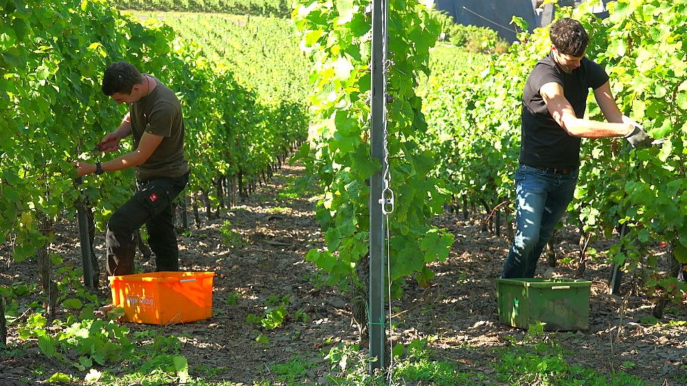 Grape harvest in vineyard in Ediger-Eller, Moselle Valley, Rhineland-Palatinate, Germany, Europe