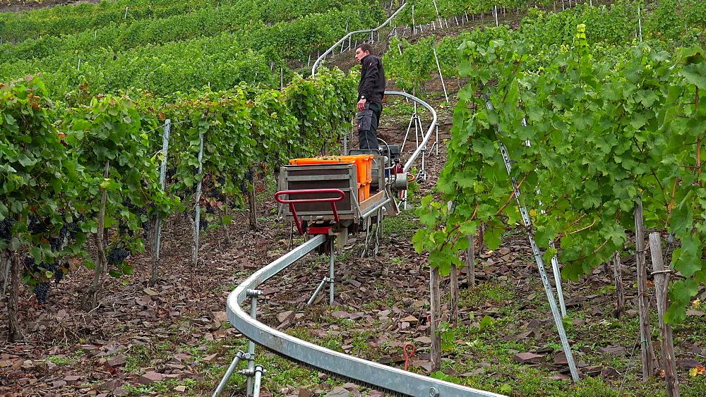 Monorail track in vineyard at grape harvest in Ediger-Eller, Moselle Valley, Rhineland-Palatinate, Germany, Europe