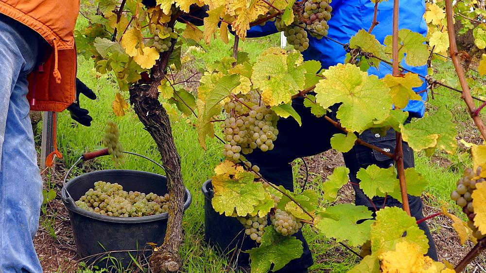 Grape harvest in vineyard in Wormeldange, Moselle Valley, Luxembourg, Europe
