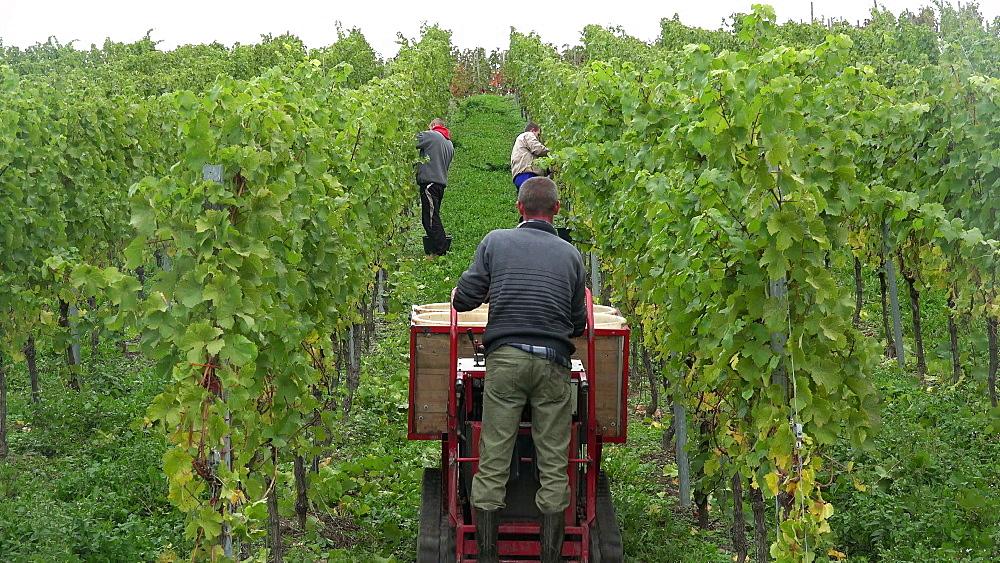 Grape harvest in vineyard in Saarburg, Saar Valley, Germany, Europe
