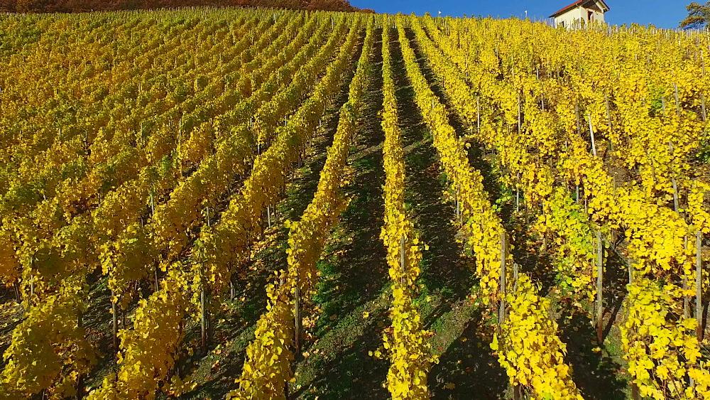 Vineyards in autumn, Saarburg, Saar Valley, Rhineland-Palatinate, Germany, Europe - 396-9766