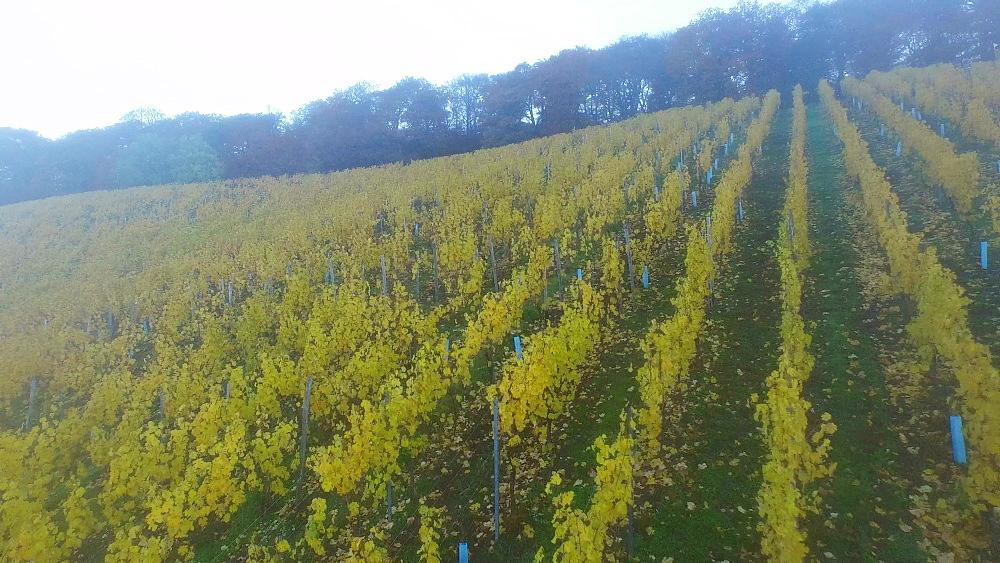Vineyards in autumn, Ayler Kupp, Ayl, Saar Valley, Rhineland-Palatinate, Germany, Europe