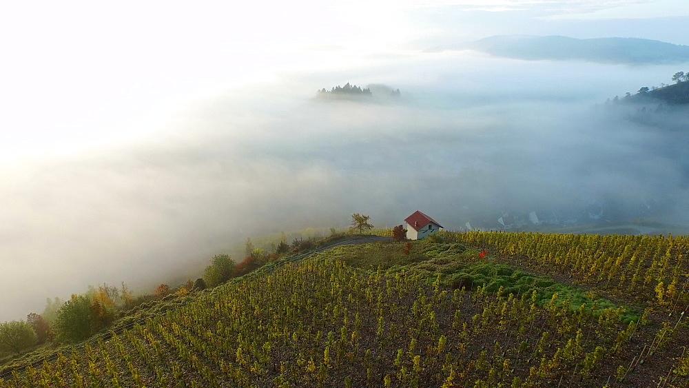 Vineyards in autumn, Saarburg, Saar Valley, Rhineland-Palatinate, Germany, Europe