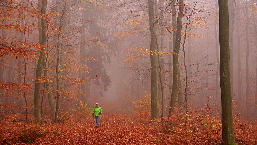 Female walker in autumnal forest, Mount Maunert near Freudenburg, Saar Valley, Rhineland-Palatinate, Germany, Europe - 396-9783