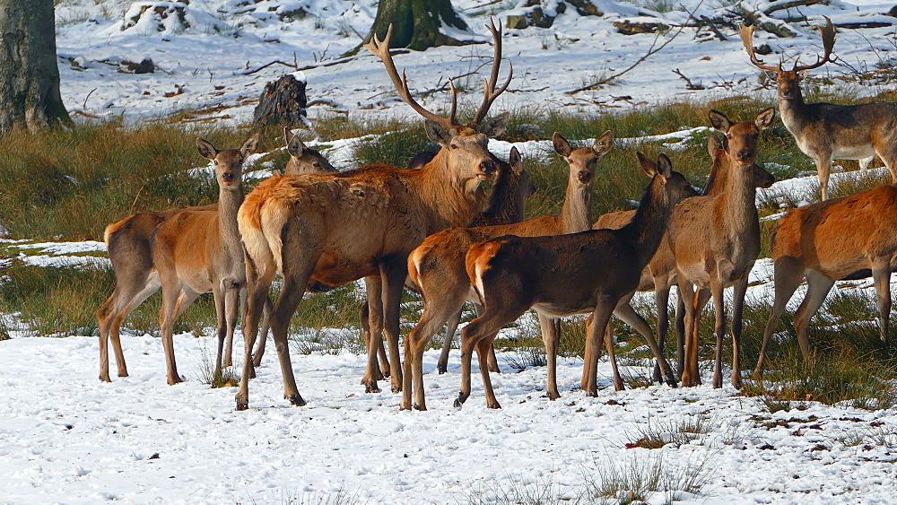 Harts in winter forest, Weiskirchen, Hunsrueck, Rhineland-Palatinate, Germany, Europe