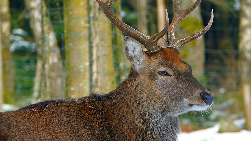 Hart in winter forest, Weiskirchen, Hunsrueck, Rhineland-Palatinate, Germany, Europe