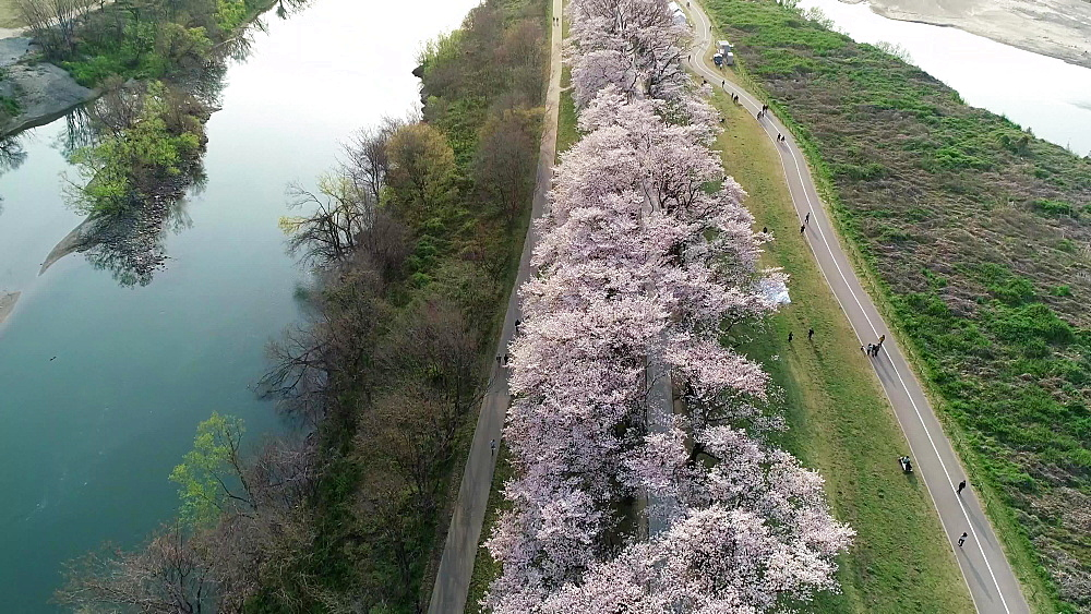 Cherry blossom at Sewaritei, Kyoto, Honshu, Japan, Asia - 733-8504