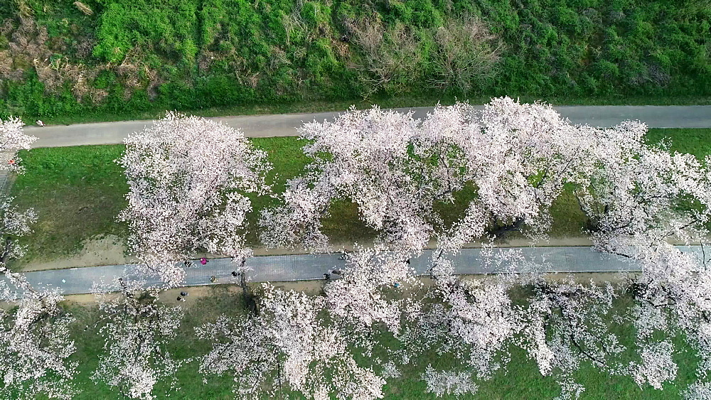 Cherry blossom at Sewaritei, Kyoto, Honshu, Japan, Asia - 733-8506