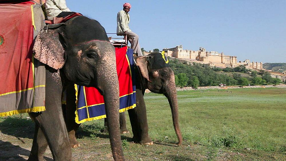 Elephants waiting to carry tourists at Amber Fort near Jaipur, Rajasthan, India, Asia