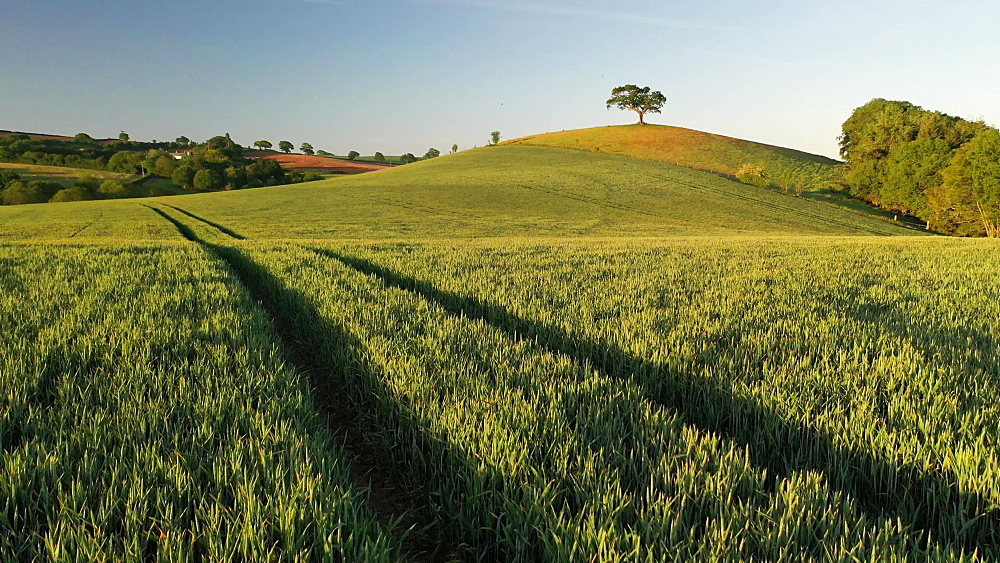 Aerial clip of rolling countryside and hilltop tree, Devon, England - 799-4076