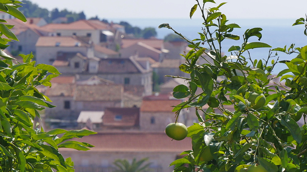 Fruit tree and view of the town and harbour of Hvar, Hvar Island, Dalmatia, Croatia, Europe - 844-12153