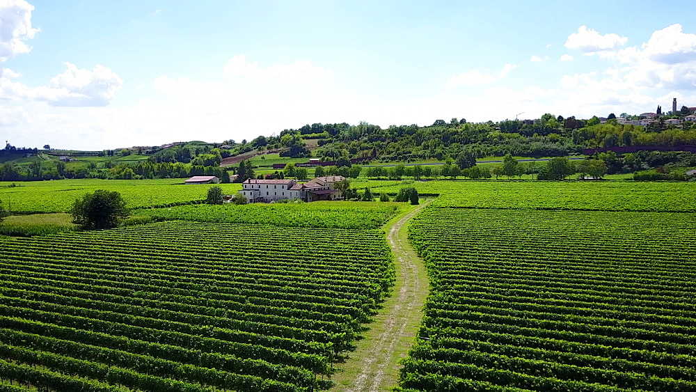 Vineyard in Vittorio from above, Province of Treviso, Veneto, Italy, Europe