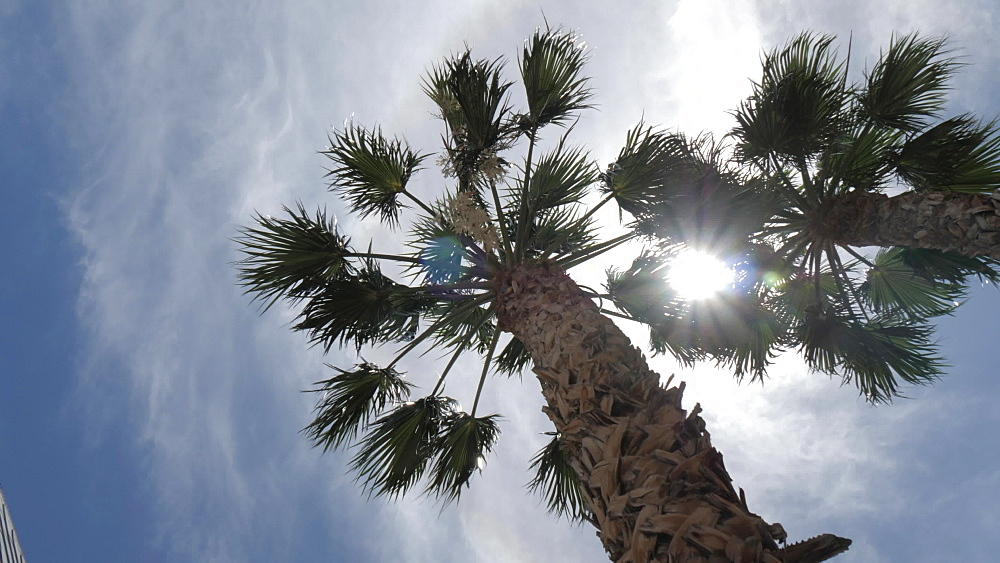 The sun peeking through palm trees on The Strip, Las Vegas Boulevard, Las Vegas, Nevada, United States of America, North America