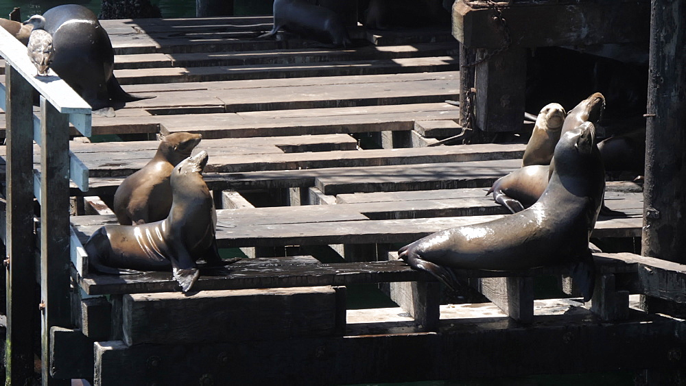 Seals on Municipal Wharf, Santa Cruz, California, United States of America, North America