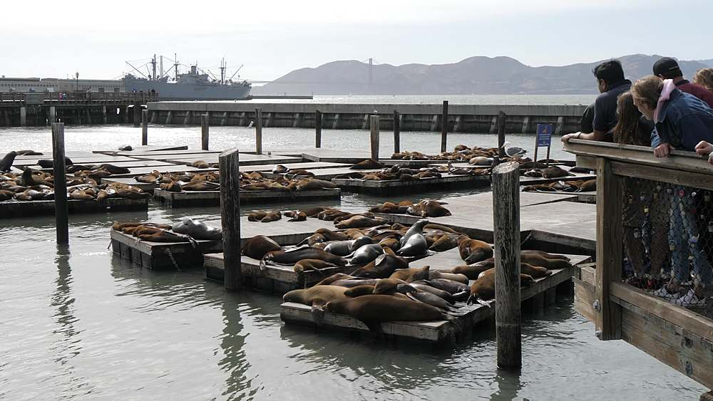View of Sea Lions at Pier 39 and Golden Gate Bridge in background, Fisherman?s Wharf, San Francisco, California, United States of America, North America