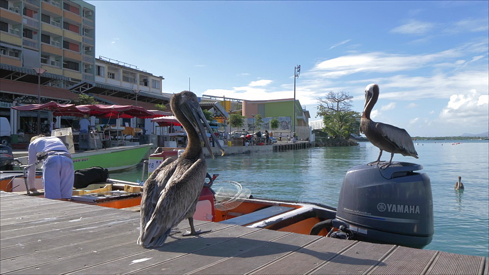Shot of pelicans on Victory Square, Pointe-a-Pitre, Guadeloupe, French Antilles, West Indies, Caribbean, Central America