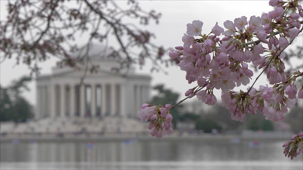 Cherry blossom and Thomas Jefferson Memorial in background, Washington DC, United States of America, North America
