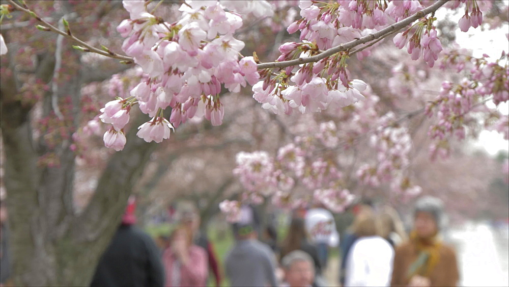 Cherry blossom and visitors out of focus in background, Washington DC, United States of America, North America