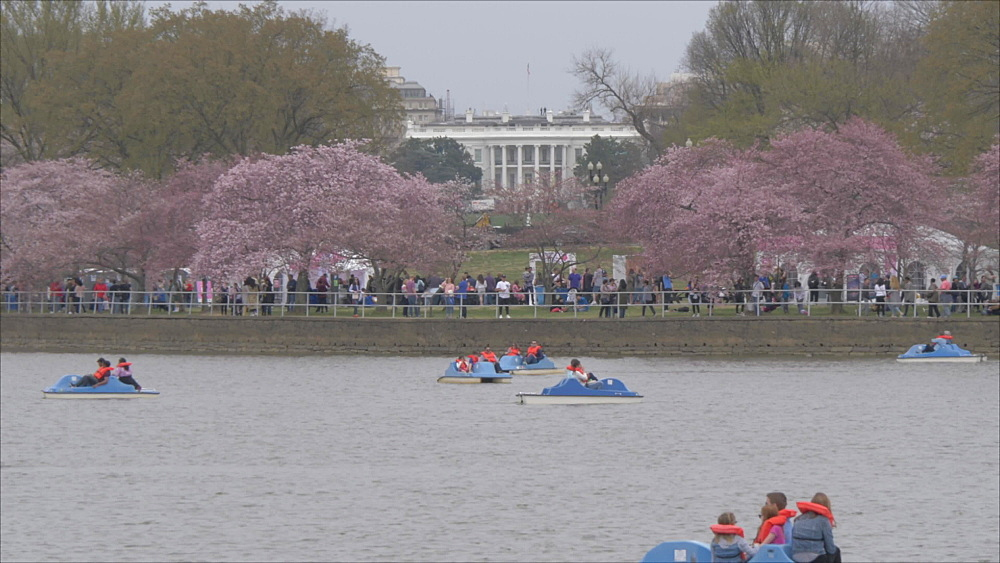 The White House, cherry blossom and paddle boats on Tidal Basin, Washington DC, United States of America, North America