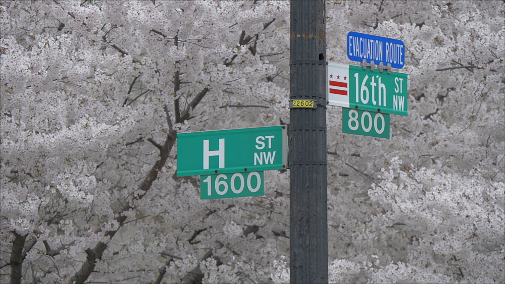 View of H Street and 16th Street signs framed by spring blossom, Washington DC, District of Columbia, USA