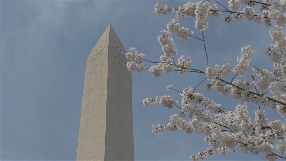 Pan shot of cherry blossom and Washington Monument, Washington DC, District of Columbia, USA