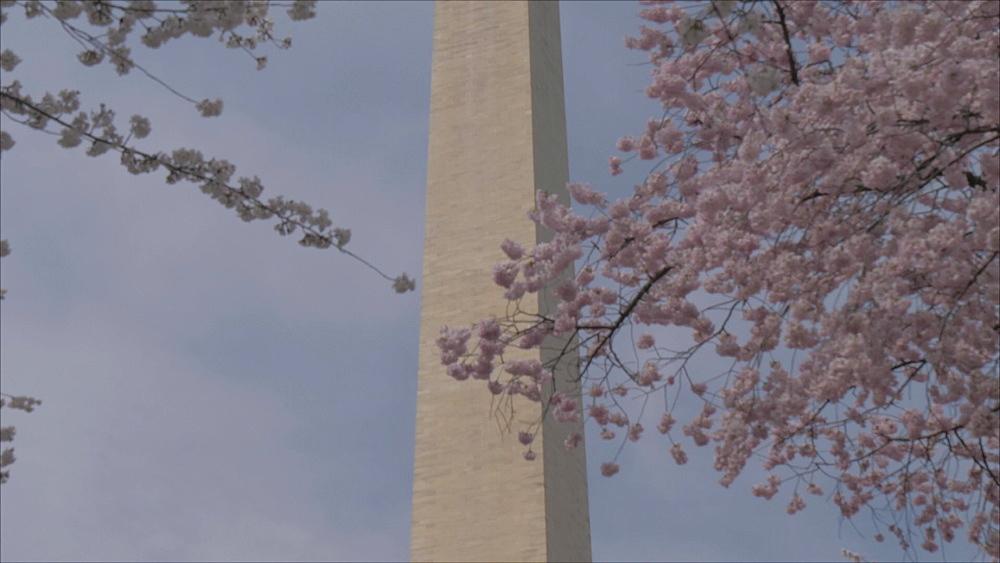 Cherry blossom and Washington Monument, Washington DC, United States of America, North America