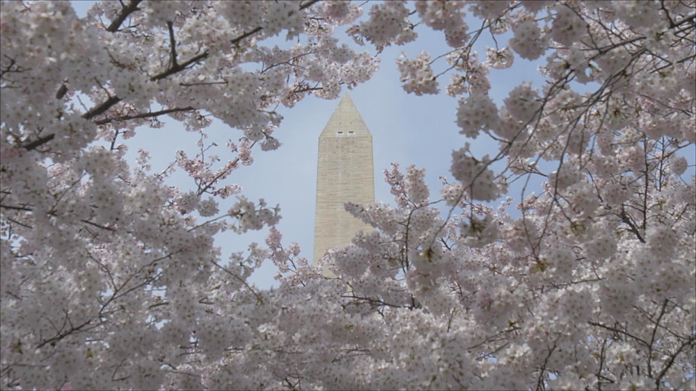Pan shot of cherry blossom and Washington Monument, Washington DC, District of Columbia, USA - 844-20119