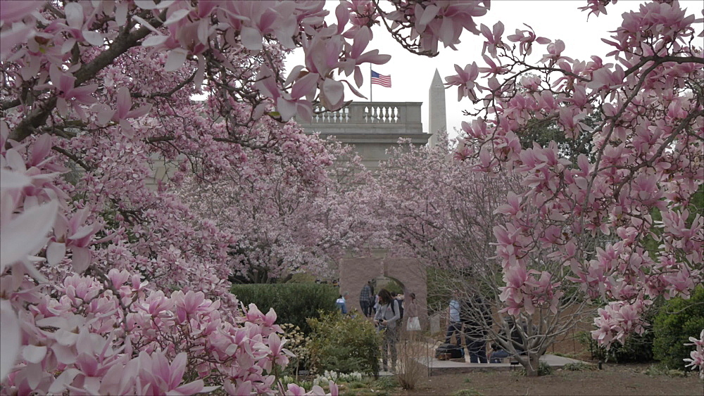 Cherry blossom in Moongate Garden and Washington Monument, Washington DC, United States of America, North America