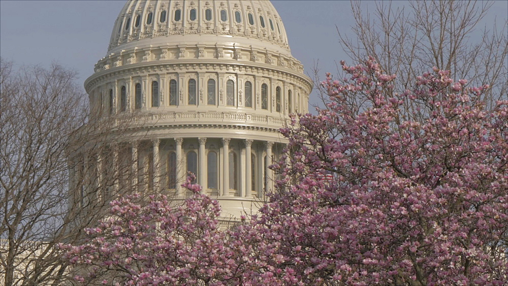 Cherry blossom and United States Capitol Building from Pennsylvania Avenue, Washington DC, United States of America, North America
