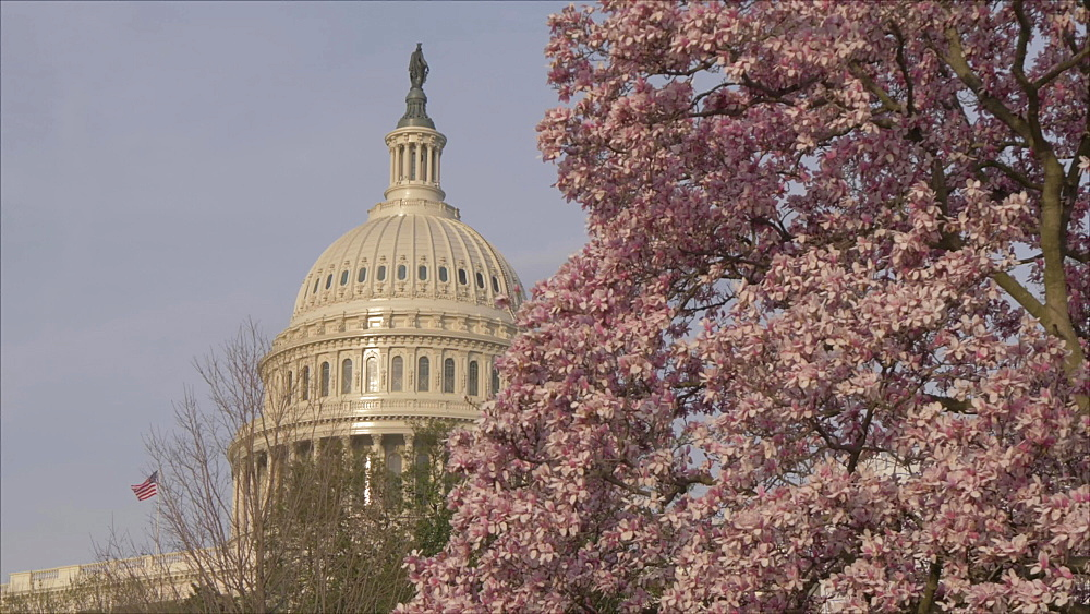 Cherry blossom and United States Capitol Building from Union Square, Washington DC, United States of America, North America