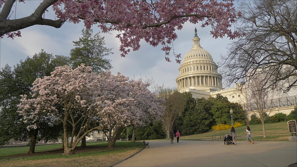 Cherry blossom and United States Capitol Building, Washington DC, United States of America, North America