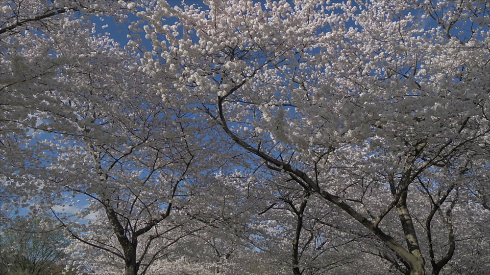 Generic roaming shot of cherry blossom trees during springtime, Washington DC, District of Columbia, USA