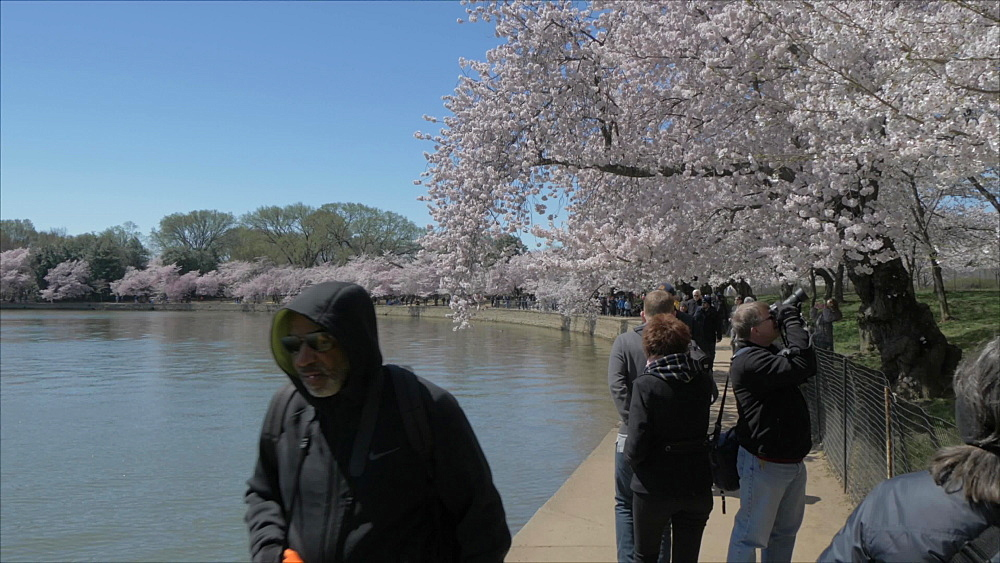 Tracking shot past people and cherry blossom trees around Tidal Basin, Washington DC, District of Columbia, USA, North America