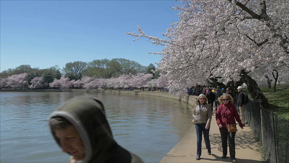People and cherry blossom trees around Tidal Basin, Washington DC, United States of America, North America