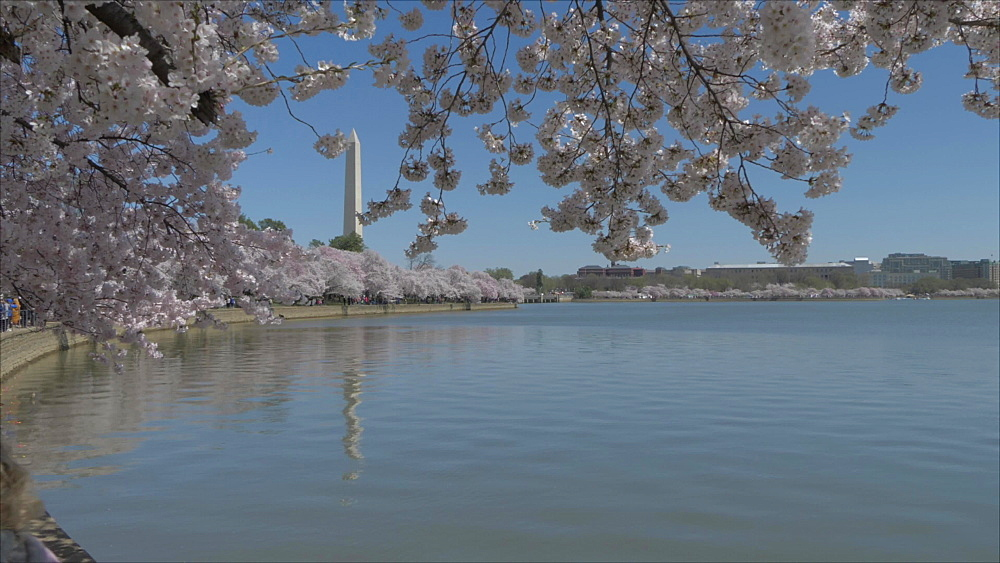 Cherry blossom and Washington Monument reflecting in Tidal Basin, Washington DC, United States of America, North America