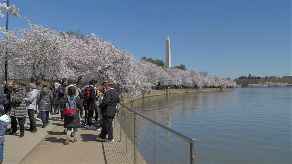 People and cherry blossom with Washington Monument visible, Washington DC, United States of America, North America