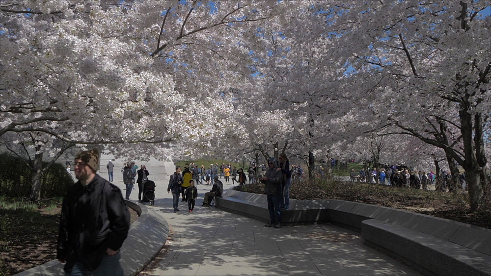 People and cherry blossom near Martin Luther King Jr. Memorial, Washington DC, United States of America, North America