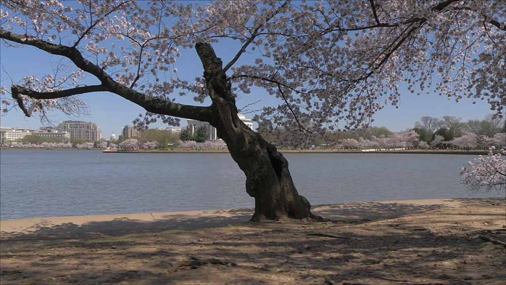 Tracking shot of cherry blossom trees and Thomas Jefferson Memorial, Washington DC, District of Columbia, USA, North America