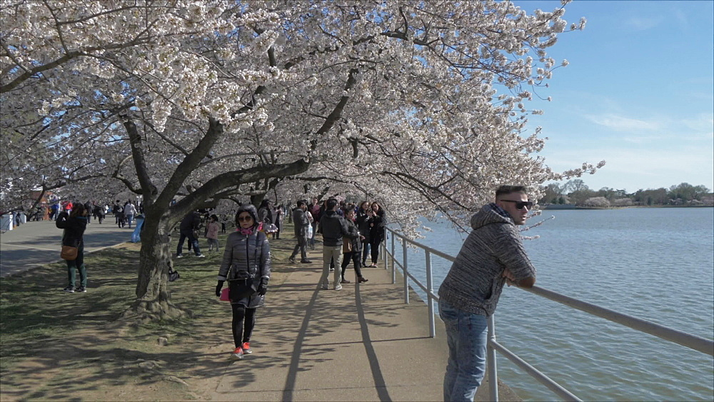 Cherry blossom trees and Thomas Jefferson Memorial, Washington DC, United States of America, North America