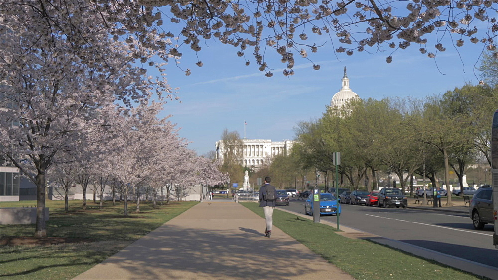 Pan shot of cherry blossom trees and United States Capitol building, Washington DC, District of Columbia, USA, North America